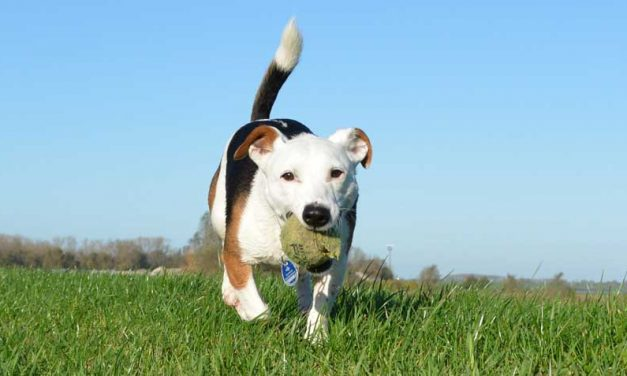 Jack Russel Terrier training handboek